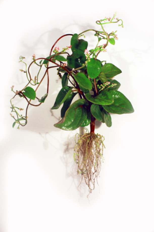 carolecollet-biolace-spinach1