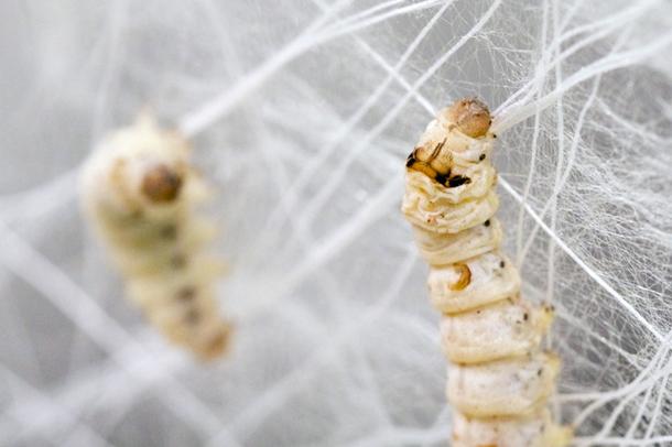 4- Silk Worm